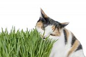 foto of laxatives  - Female cat eating grass - JPG