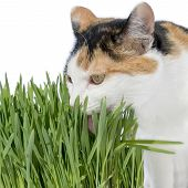 image of laxatives  - Female cat licking grass - JPG