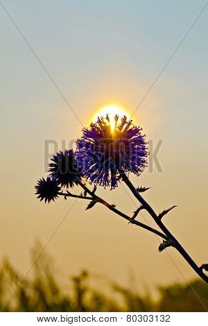 Flower spiny at sunset