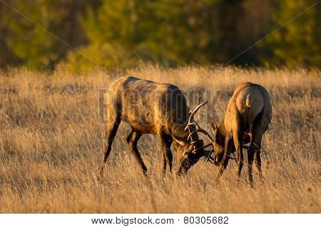 Male Elk Sparring