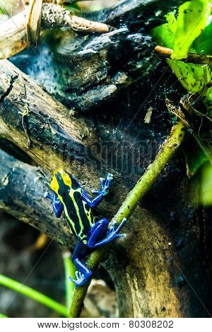A Yellow and Black Poison Dart Frog