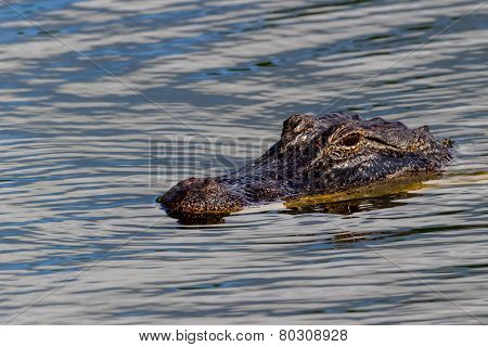 A Wild Alligator (Alligator mississippiensis) Lurking