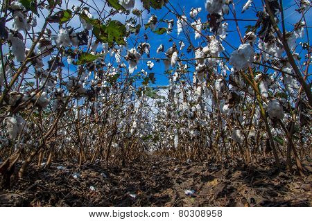 Raw Cotton Growing in a Field with Blue Skies