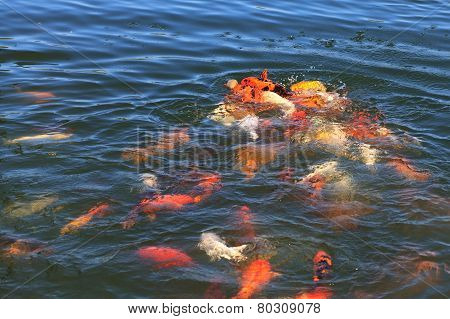 Fish Koi fight for food.