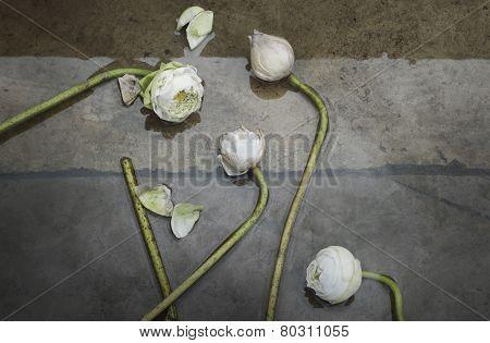Group Of White Lotus
