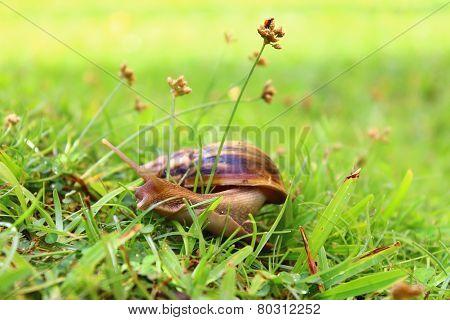 Achatina fulica in the grass. Sri Lanka