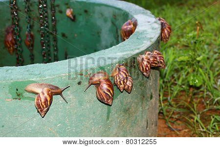 Many snails. Achatina fulica