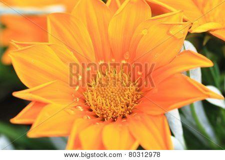 Chrysanthemum flower and raindrop