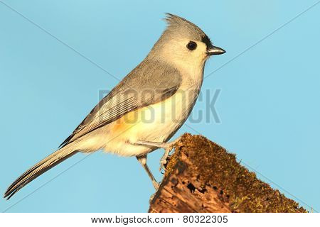 Titmouse On A Stump