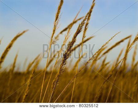 Golden spike in summer field