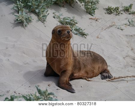 A young sea lion on the beach