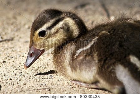 Young mandarin duck