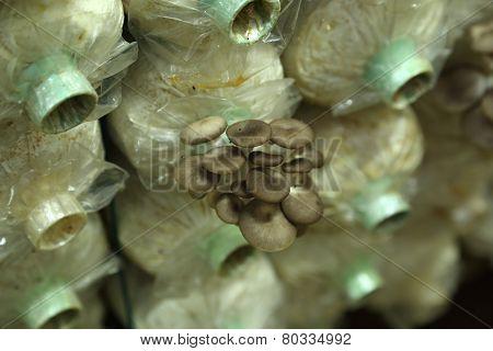 Sarjor-caju Mushroom Growing In A Farm