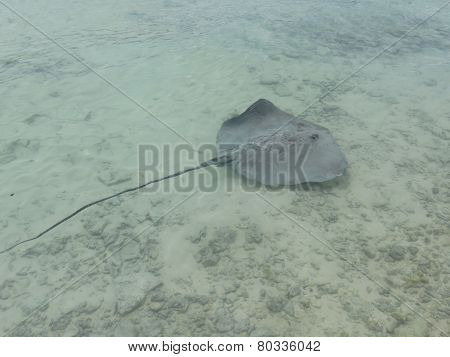 Sting ray swimming