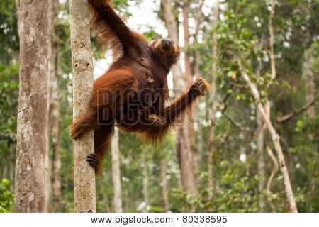 Orangutan family hanging on the tree.