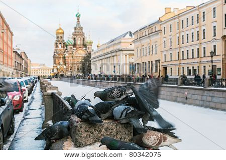 Feeding Frozen Dove On A Background Of Church Of Our Savior On Spilled Blood In St. Peterburg