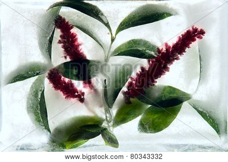 Frozen   Flower Of   Knotgrass