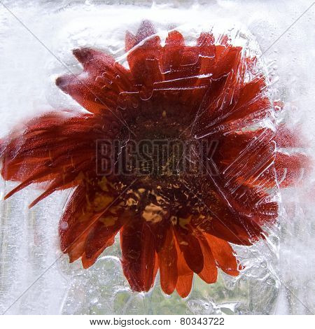 Frozen   Flower Of   Gerbera