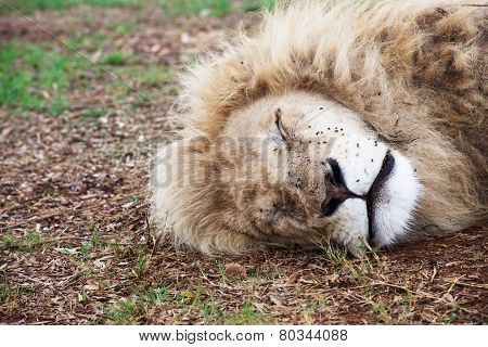 Head of a sleeping white lion