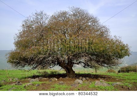 Oak Tree, Golan Heights In Israel