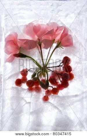 Frozen   Flower Of   Geranium And Berry
