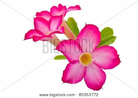 Desert Rose Flowers