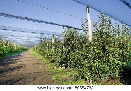 Modern Apples Orchard