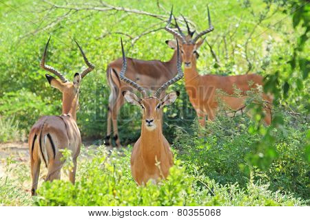 Herd Of Male Impalas
