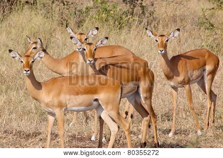 Herd Of Impala Looking At Camera