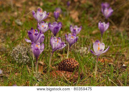 Purple crocuses. Violet crocuses.