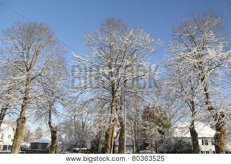 Snowed Tress