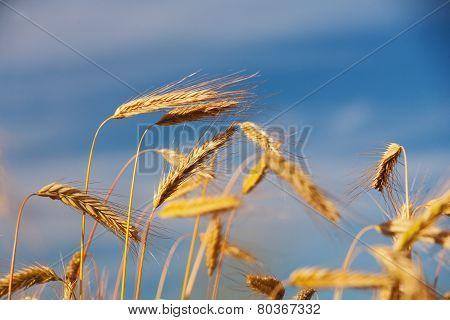 Golden Ears Of Grain Against A Blue Sky