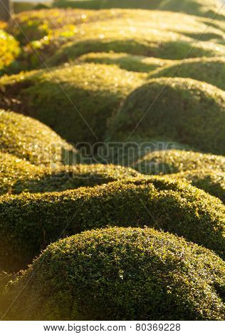 Rounded Hedge