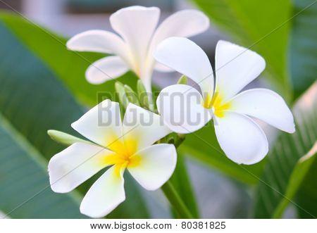 Frangipani Spa Plumeria Flowers
