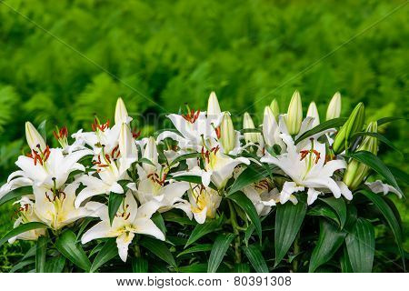 Easter Lilies And Ferns In A Lush Green Garden