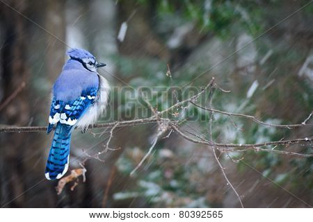 Blue Jay On A Snowy Day
