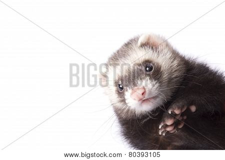 Grey cute ferret