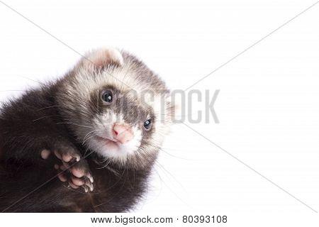 Muzzle ferret