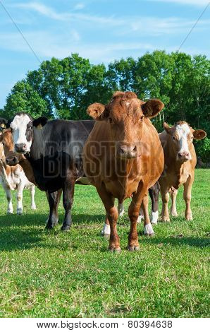 Limousin breed cows in a pasture