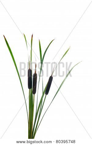 Water Cattails On A White Background Isolated