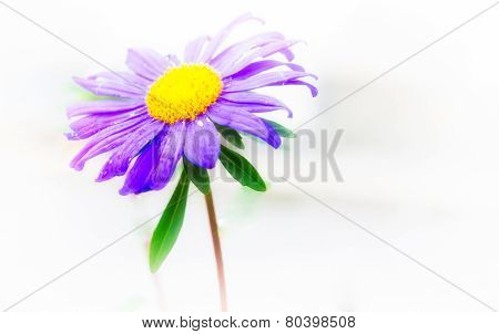 Violet Flower With Withe Background