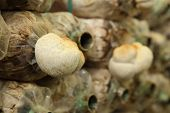 stock photo of spawn  - Monkey head mushroom (Yamabushitake mushroom) on spawn bags growing in a farm ** Note: Shallow depth of field - JPG