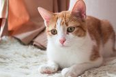 image of lovable  - Lovable red cat  on fur carpet close up - JPG
