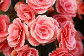foto of begonias  - pink begonia flower blooming in the garden - JPG