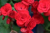 picture of begonias  - red begonia flower blooming in the garden - JPG
