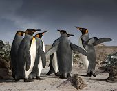 foto of bartering  - A group of King Penguins - JPG
