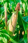 stock photo of corn cob close-up  - Corn close - JPG