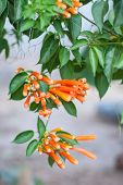 stock photo of trumpets  - Orange trumpet flower Flame flower Fire - JPG