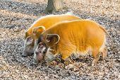 image of wild hog  - Red river hog  - JPG