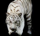 image of tigers  - White Tiger portrait of a bengal tiger black color background - JPG